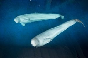 Beluga Sanctuary Update – July 1st