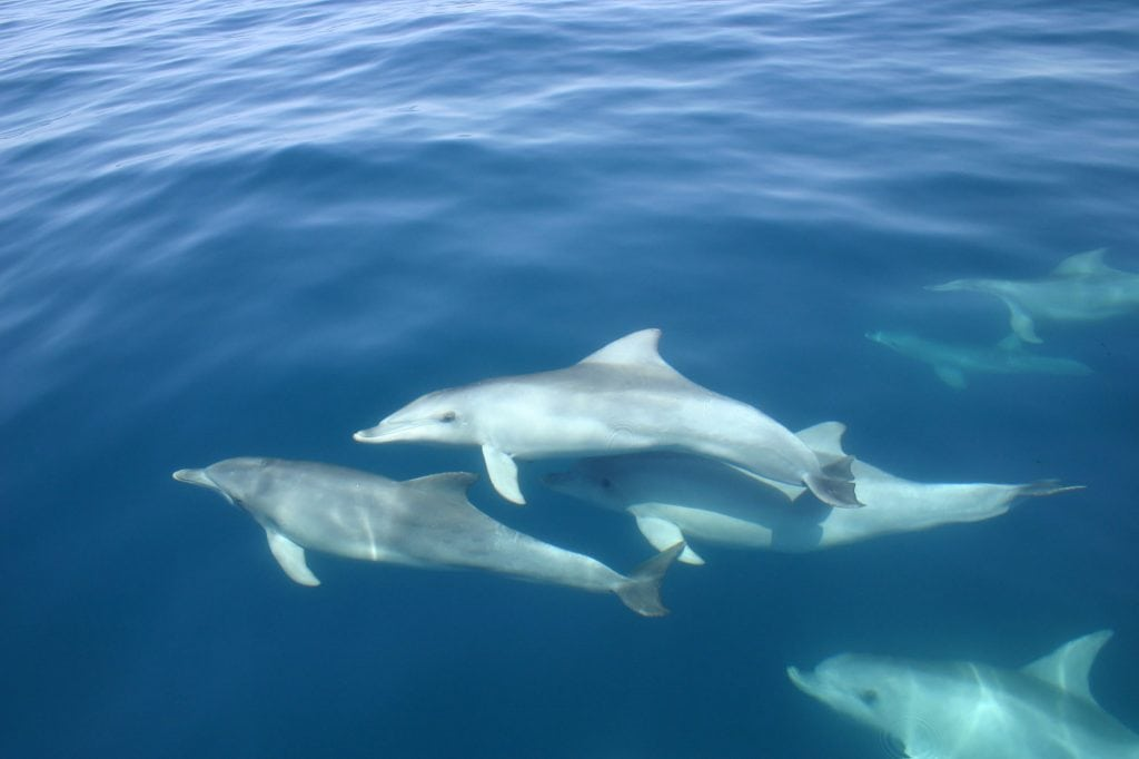 Group of Port River dolphins swimming close to the surface