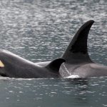 Two orca whales swimming with one poking its head out of the water