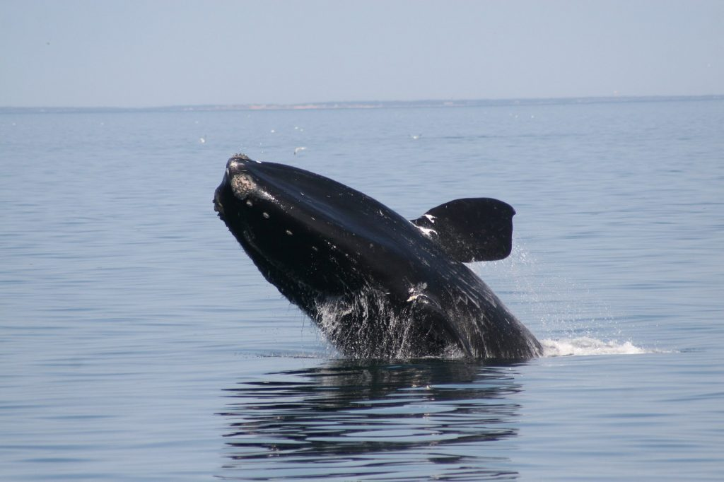 Breaching North Atlantic right whale
