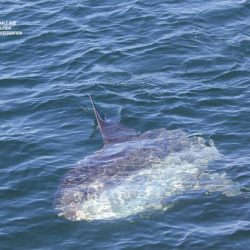 mola mola bathing in the sun at the surface