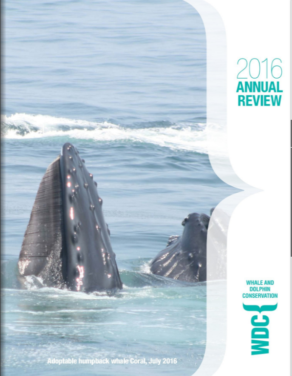 Image of adoptable humpback whale, Coral, with the front of his head all the way out of the water vertically.