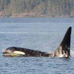 Northern Resident orca, Fife, swimming at the surface