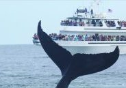 Image of commercial whale watch boat with lots of passengers onboard with a humpback fluke in the foreground