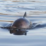 Harbour porpoise diving back into the water