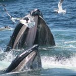 two humpback whales feeding at the surface with seagulls flying around