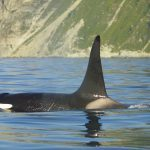Male orca swimming at the surface of the water