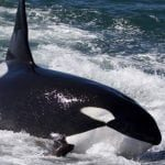 orca whale swimming at the surface of the water