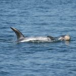 Two Risso's dolphins swimming at the surface